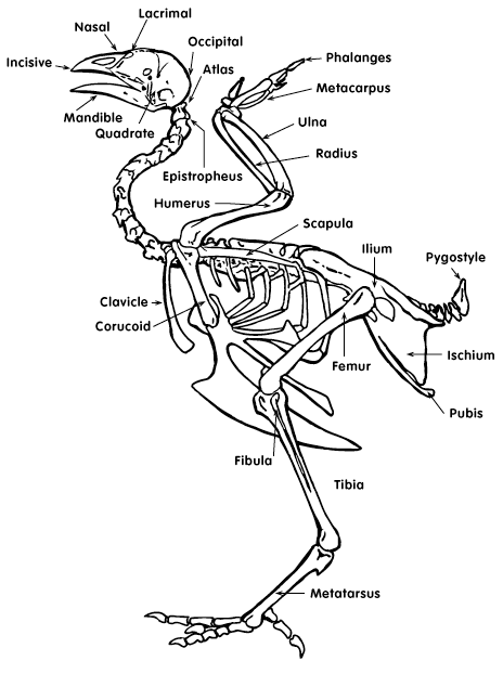 Chicken Skeletal Anatomy